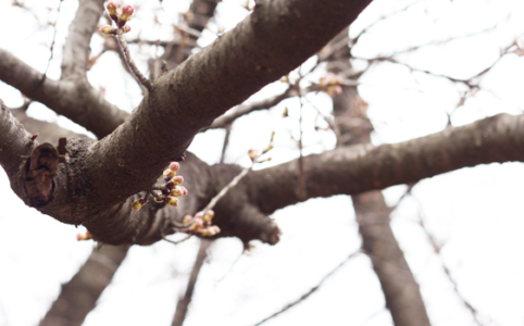 3月の公園の桜のつぼみ