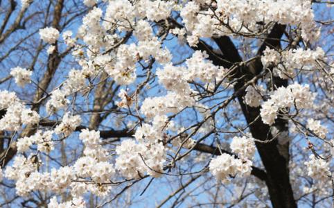 きしもとデザインの2018年春の桜の写真